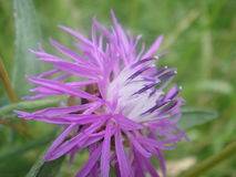 Macro púrpura hermosa de la flor imágenes de archivo libres de regalías
