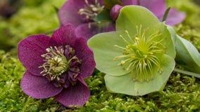 Macro púrpura y verde del helleborus Fotos de archivo libres de regalías