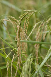 Macro paddy rice in rice field Royalty Free Stock Image