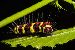 Macro of Painted Jezebel Delias hyparete caterpillars on backside of their host plant leaf in nature,Butterfly worm Royalty Free Stock Images