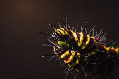Macro of Painted Jezebel (Delias hyparete) caterpillars on their host plant leaf in nature Stock Image