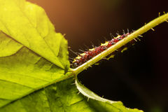 Macro of Painted Jezebel (Delias hyparete) caterpillars on their host plant leaf in nature Stock Photos
