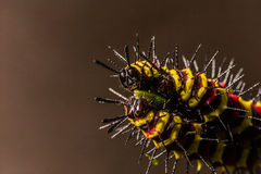 Macro of Painted Jezebel (Delias hyparete) caterpillars on their host plant leaf in nature Royalty Free Stock Photos