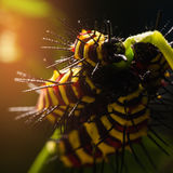 Macro of Painted Jezebel Delias hyparete caterpillars on their host plant leaf in nature,Butterfly worm. Royalty Free Stock Photo