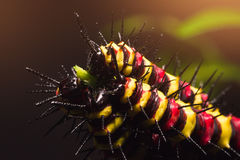 Macro of Painted Jezebel (Delias hyparete) caterpillars on their host plant leaf in nature Stock Photo