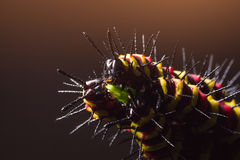 Macro of Painted Jezebel (Delias hyparete) caterpillars on their host plant leaf in nature Stock Photography