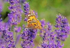 Macro of a painted lady butterfly on a flower. Macro of a painted lady butterfly on a lavender flower royalty free stock photos