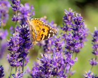 Macro of a painted lady butterfly on a flower. Macro of a painted lady butterfly on a lavender flower stock images