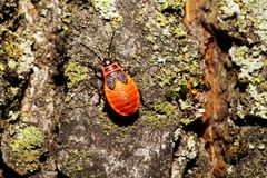 Macro painted young red bug of a soldier on the bark of a tree. Macro of a painted Caucasian young red bug of a soldier sitting on a tree bark royalty free stock images