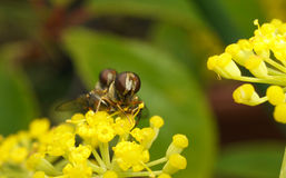 A macro of a pair of hoverflies mating on a yellow flower Royalty Free Stock Image