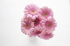 Macro of Pale Pink Gerbera Stock Photography
