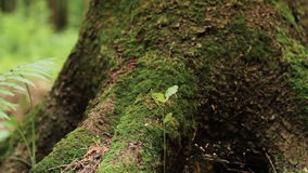 Macro panning shot of fern and pine tree. Panning close up shot of fern leaves and roots of big pine tree overgrown with green moss in summer forest. Shallow stock footage