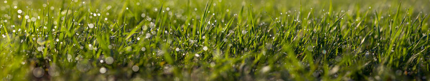 Macro-panorama of grass with a dew drops Royalty Free Stock Image