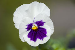 Macro Of A Pansy Royalty Free Stock Images