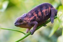 Macro of panther chameleon Furcifer pardalis Stock Photos