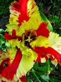 Macro papier peint de fond de fleur rouge et jaune de tulipe photo stock