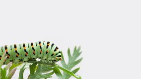 Macro Papilio machaon caterpillar butterfly on gray background. Beautifil green black orange insect predator insect. Eating carrot leaves. Copy space photo Stock Photos