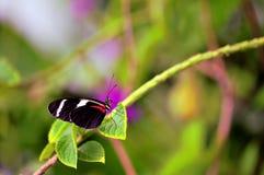 Macro papillon, Sara Longwing dans la volière image libre de droits