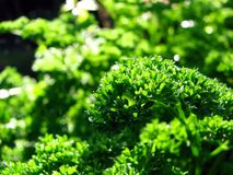 Macro Parsley Royalty Free Stock Images