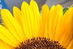 Macro parte del colpo della fioritura gialla del girasole fotografia stock
