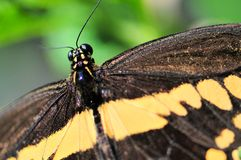 Macro partial Giant Swallowtail butterfly Royalty Free Stock Images