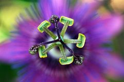 Macro of Passion Flower. Macro stamen and pistil of a Passion Flower Royalty Free Stock Photos
