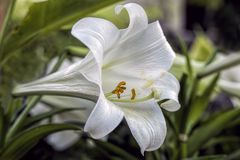 Macro of peace lily. Stock Images