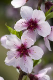 Macro of Peach Blossoms Stock Photography