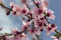 Macro of Peach Blossoms royalty free stock photo
