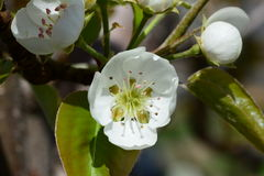 Macro Pear Tree Blooms 2016. Pear Tree Bloom Macro Spring 2016 Royalty Free Stock Photos