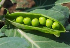 Macro of peas Stock Photography
