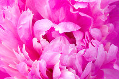 Macro of peony Stock Photography