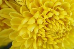 Macro per il crisantemo giallo fotografie stock