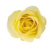 Yellow Rose Flower Royalty Free Stock Images