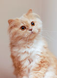 Macro Persian Cat Stock Photo
