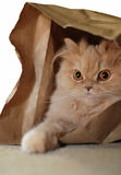 Macro Persian Cat Royalty Free Stock Photography