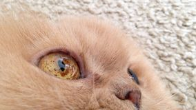 Macro persian cat face Stock Image
