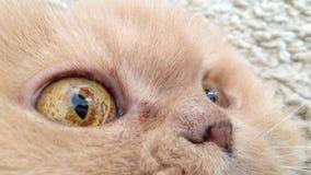 Macro persian cat face Stock Photos