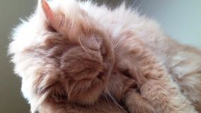 Macro persian cat face Stock Photography