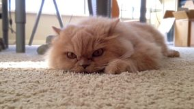 Macro persian cat relaxing on floor stock video