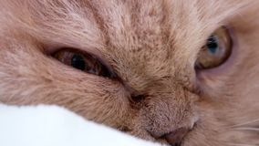 Macro of persian cat sleepy face. On bed stock video footage