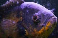 Macro pesce Fotografie Stock