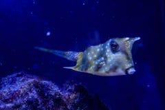 Macro pesce di Linneo di lactoria cornuta fotografie stock libere da diritti