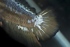 Macro pesce siamese di combattimento, coda dell'aletta del pesce di Betta Fotografia Stock Libera da Diritti