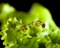 Macro of pest caterpillar Royalty Free Stock Image