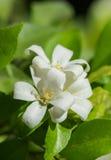 Macro Petal of Orange jasmine flower. Petal of Orange jasmine flower Royalty Free Stock Images