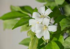 Macro Petal of Orange jasmine flower. Petal of Orange jasmine flower Stock Image