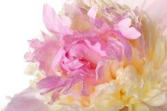 Macro petali rosa - peonia gialla Fotografia Stock Libera da Diritti