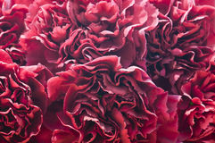 Macro petals of cloves Stock Images