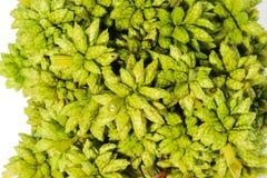Macro petite fleur en épi sèche verte de boule sur le Ba blanc Photo libre de droits